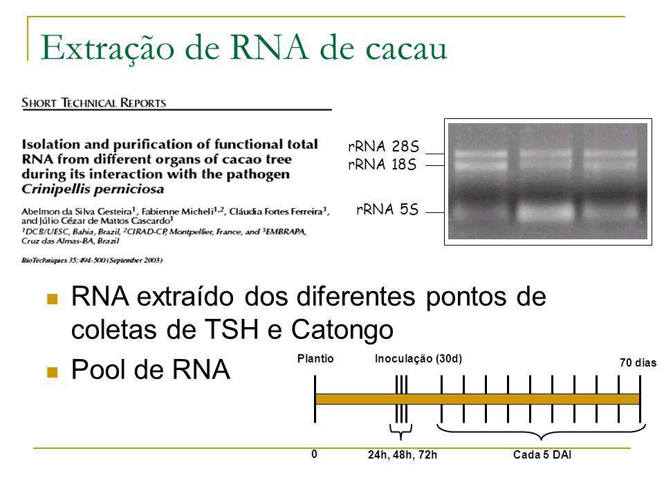 Extração de RNA de cacau