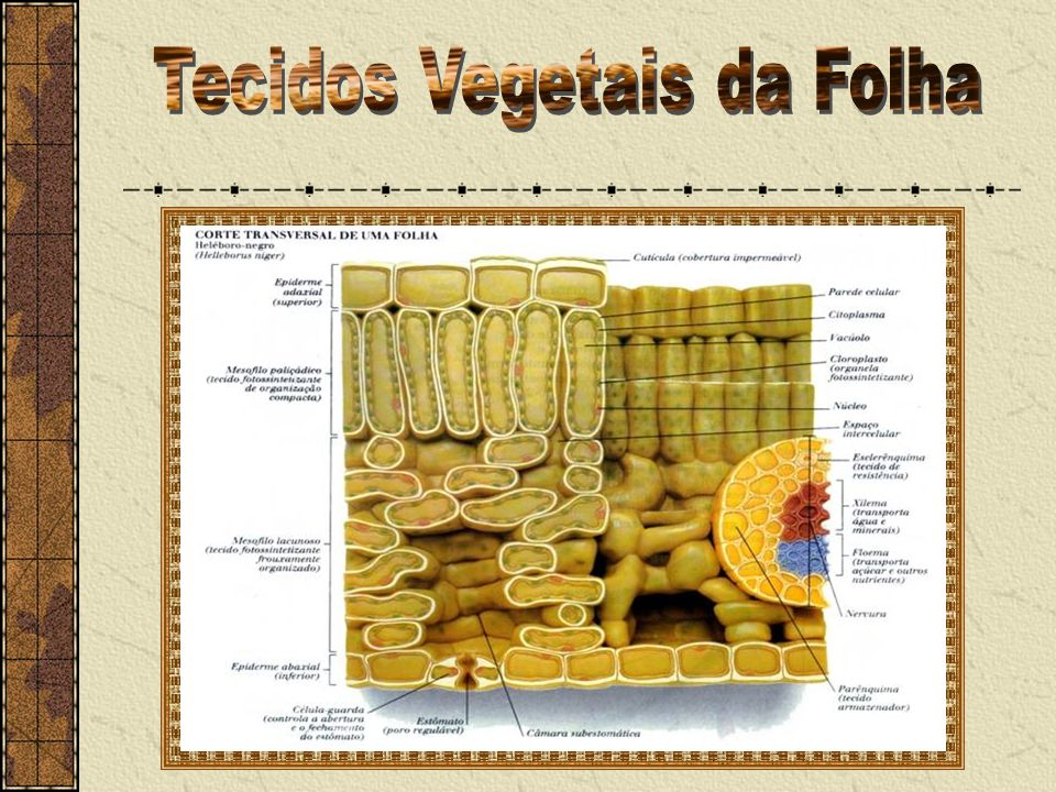 Tecidos Vegetais da Folha