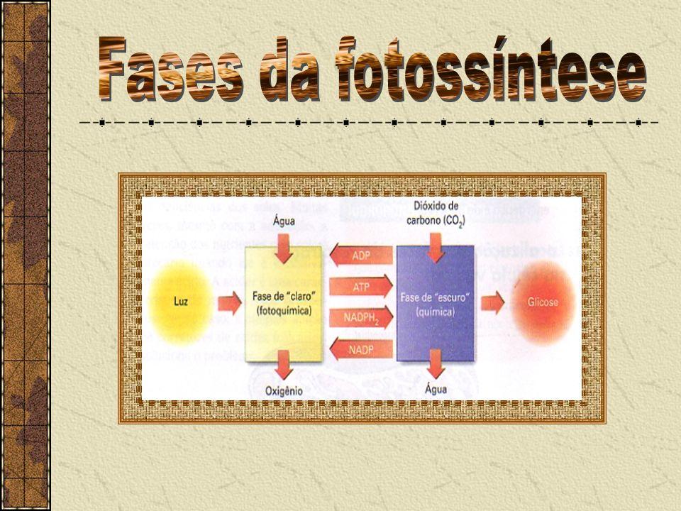 Fases da fotossíntese