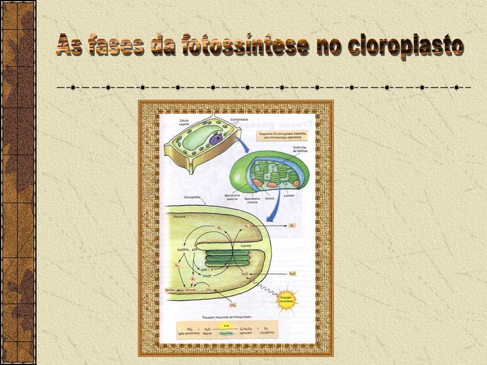 As fases da fotossíntese no cloroplasto