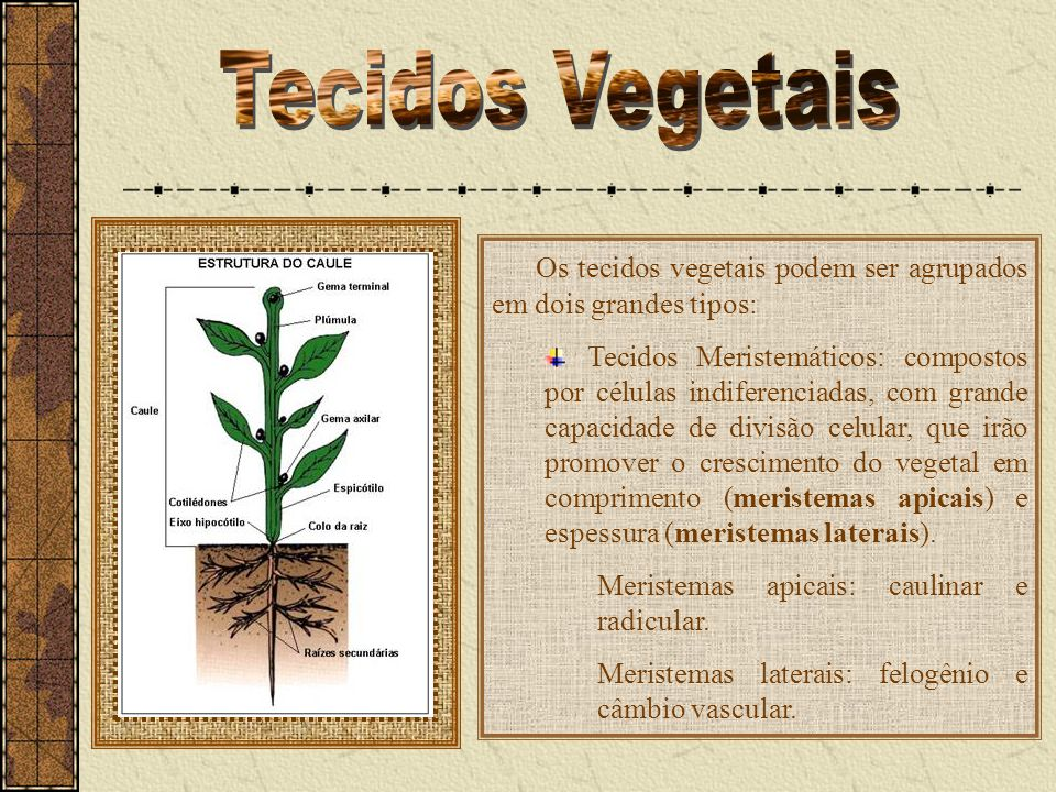 Tecidos VegetaisOs tecidos vegetais podem ser agrupados em dois grandes tipos:
