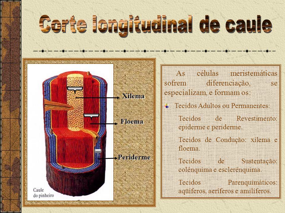 Corte longitudinal de caule