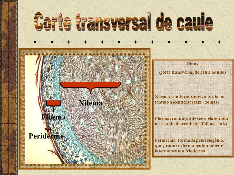 Corte transversal de caule (corte transversal de caule adulto)