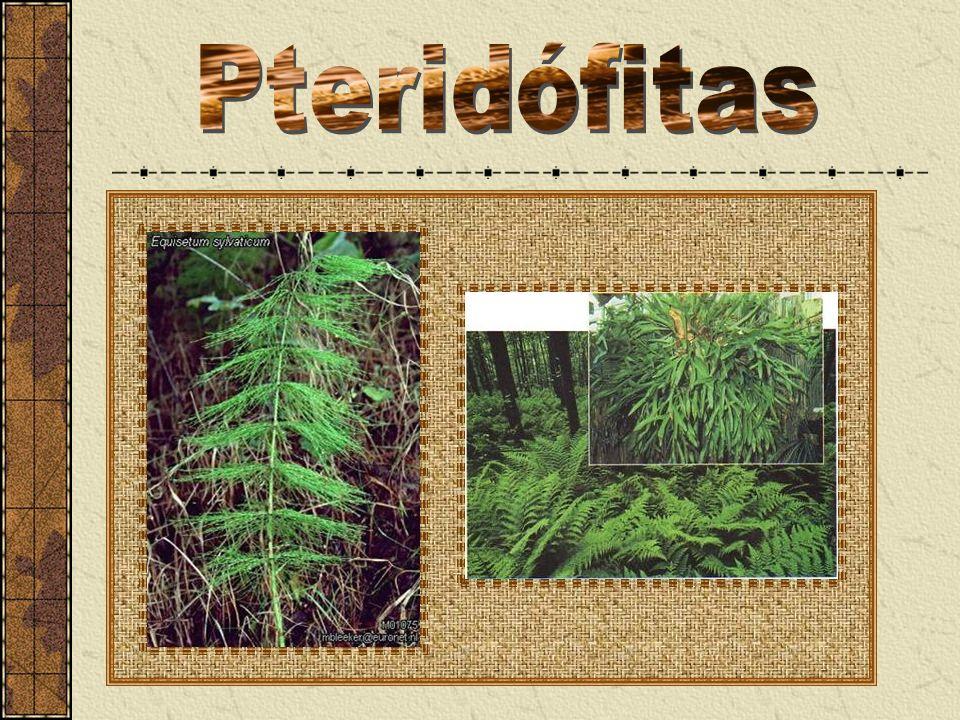 Pteridófitas