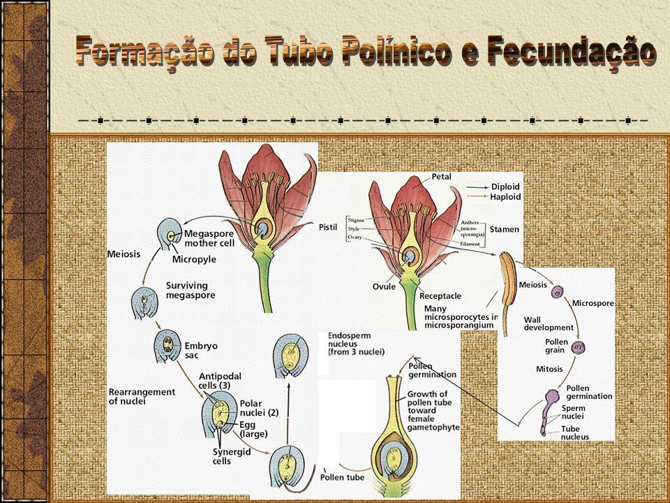 Formação do Tubo Polínico e Fecundação
