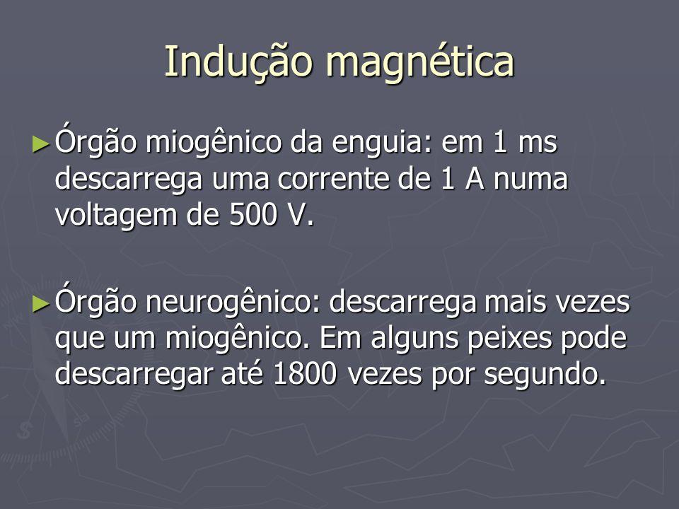 Indução magnéticaÓrgão miogênico da enguia: em 1 ms descarrega uma corrente de 1 A numa voltagem de 500 V.