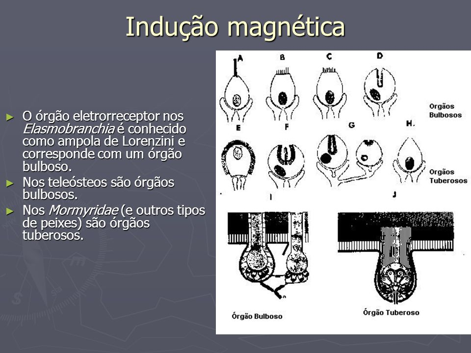 Indução magnéticaO órgão eletrorreceptor nos Elasmobranchia é conhecido como ampola de Lorenzini e corresponde com um órgão bulboso.