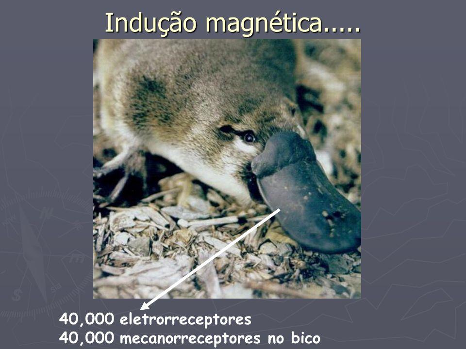 Indução magnética..... 40,000 eletrorreceptores