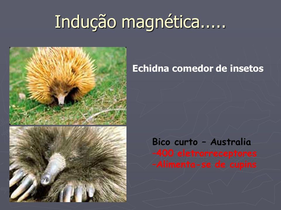 Indução magnética..... Echidna comedor de insetos