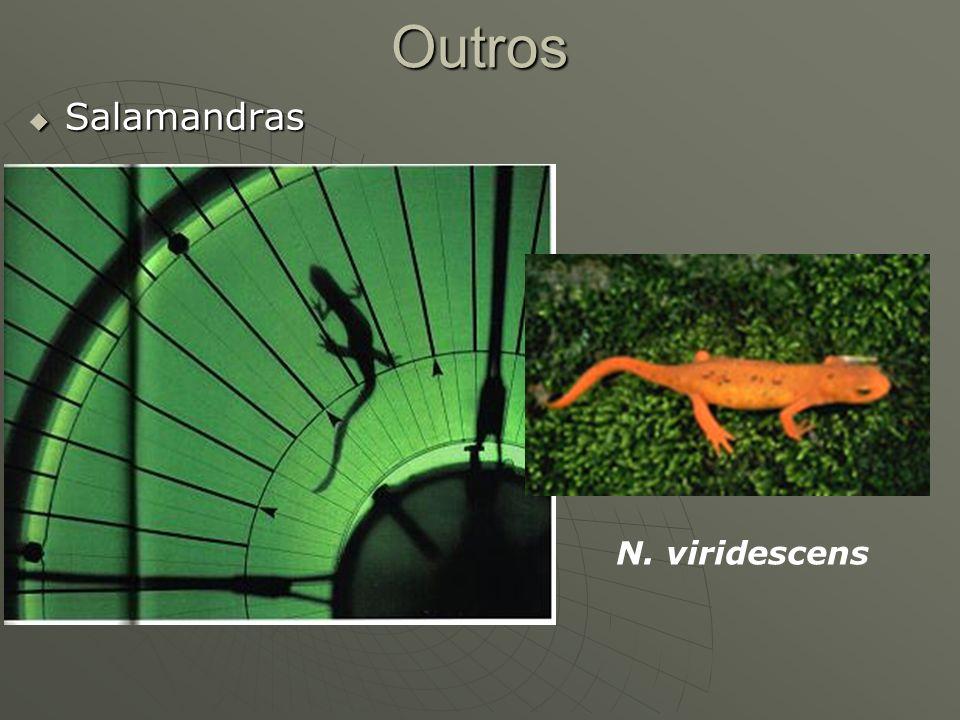 Outros Salamandras N. viridescens