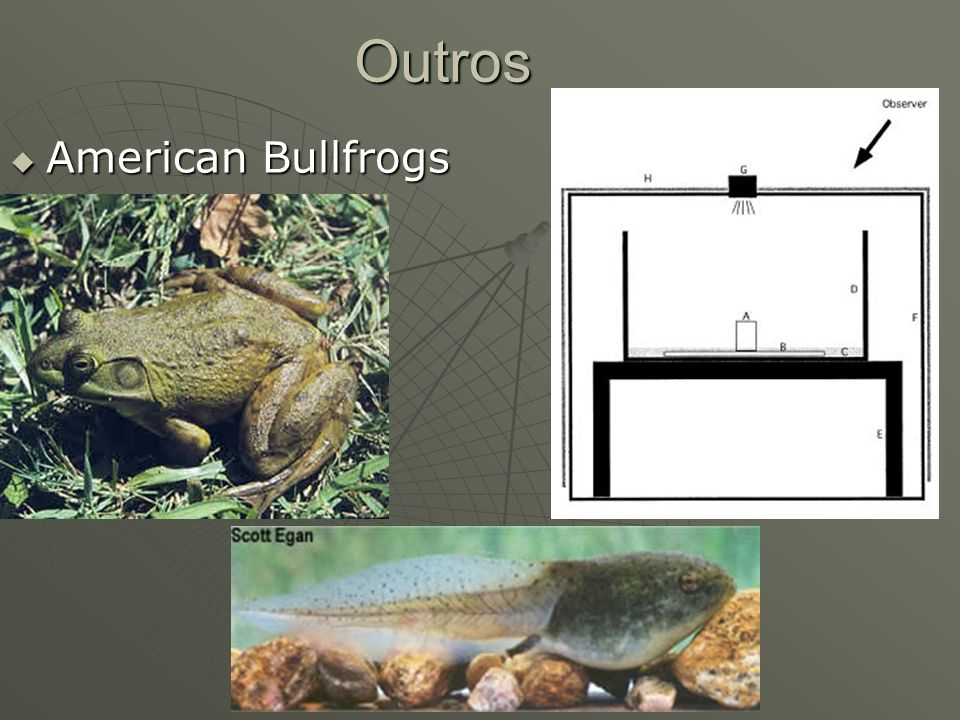 Outros American Bullfrogs