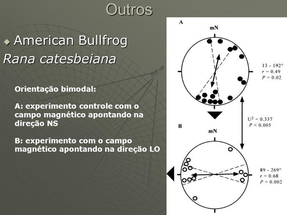 Outros American Bullfrog Rana catesbeiana Orientação bimodal: