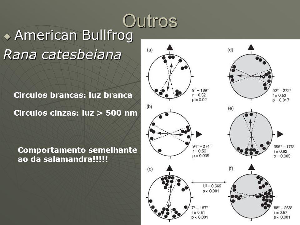 Outros American Bullfrog Rana catesbeiana Circulos brancas: luz branca