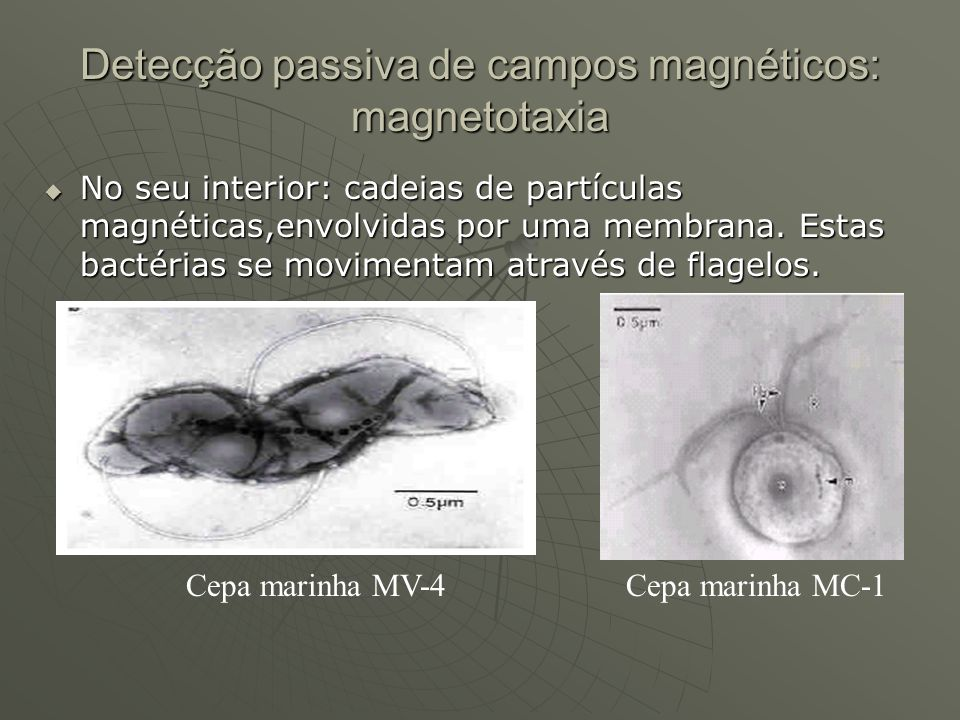 Detecção passiva de campos magnéticos: magnetotaxia