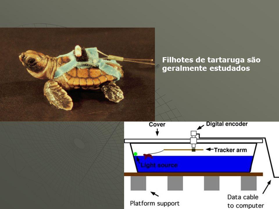 Filhotes de tartaruga são