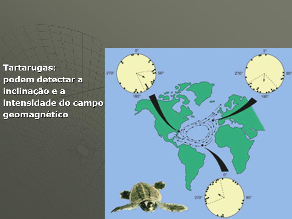Tartarugas: podem detectar a inclinação e a intensidade do campo geomagnético