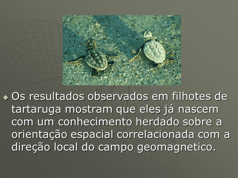 Os resultados observados em filhotes de tartaruga mostram que eles já nascem com um conhecimento herdado sobre a orientação espacial correlacionada com a direção local do campo geomagnetico.