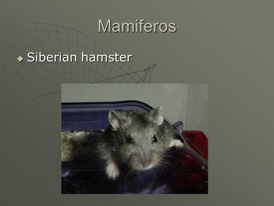 Mamiferos Siberian hamster