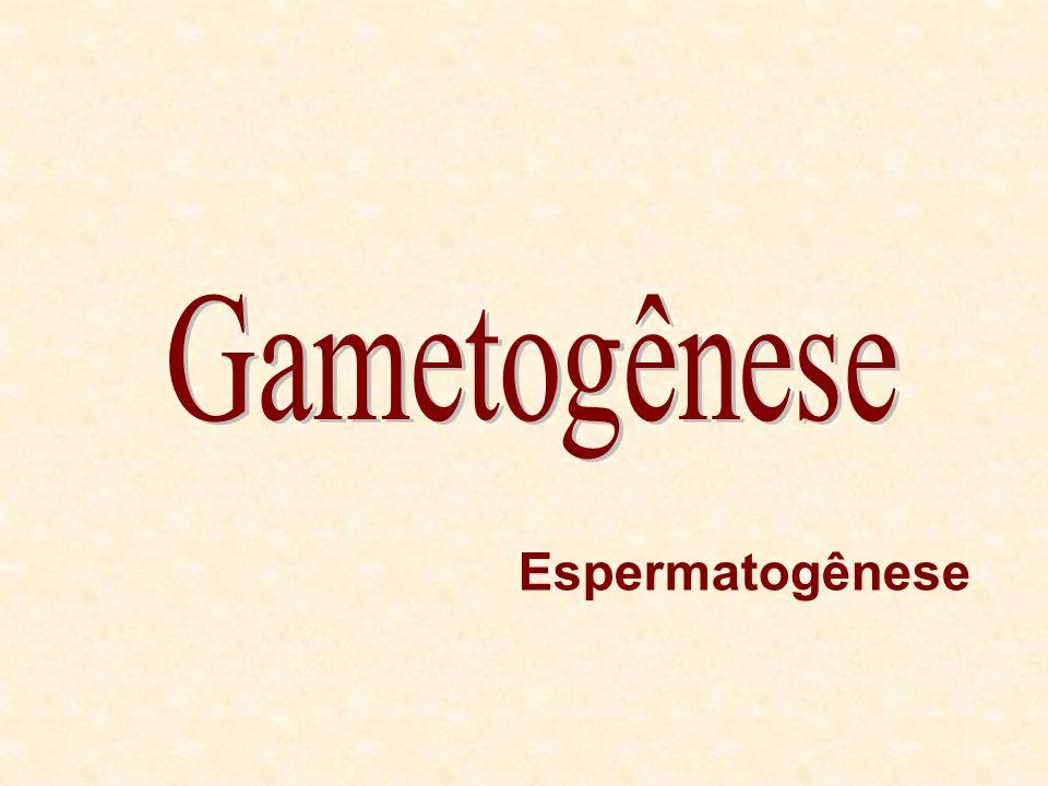Gametogênese Espermatogênese