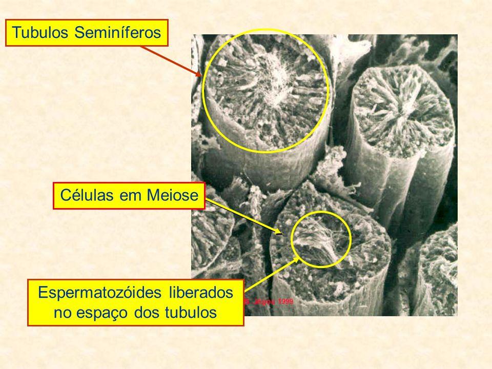 Espermatozóides liberados no espaço dos tubulos