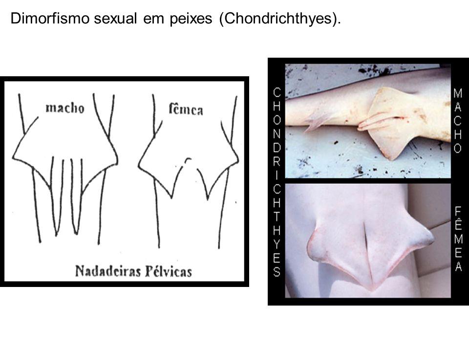 Dimorfismo sexual em peixes (Chondrichthyes).
