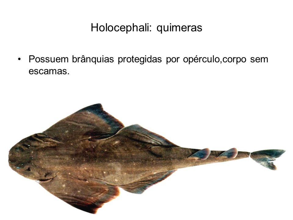 Holocephali: quimeras