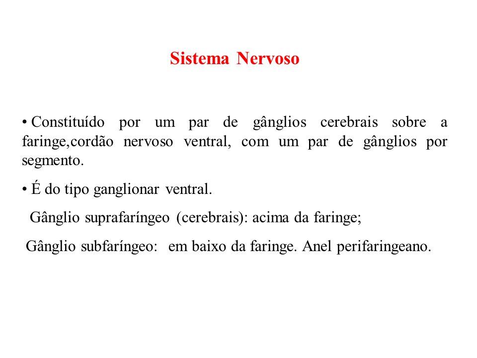 Sistema Nervoso Constituído por um par de gânglios cerebrais sobre a faringe,cordão nervoso ventral, com um par de gânglios por segmento.