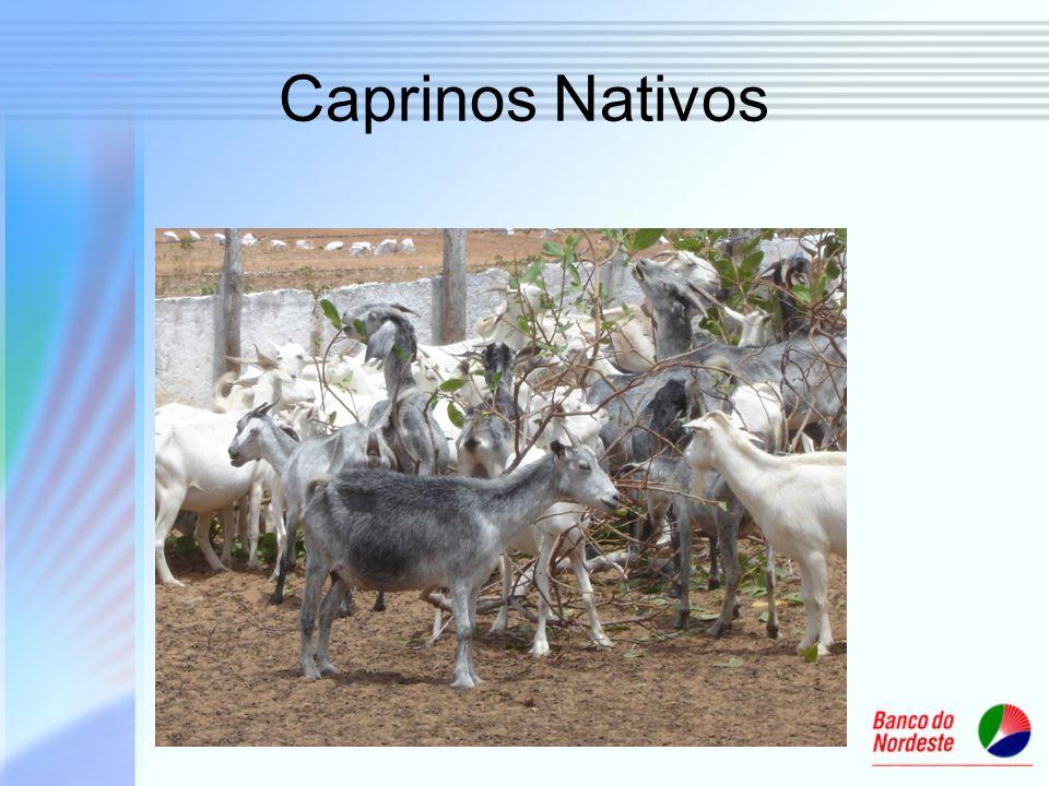 Caprinos Nativos