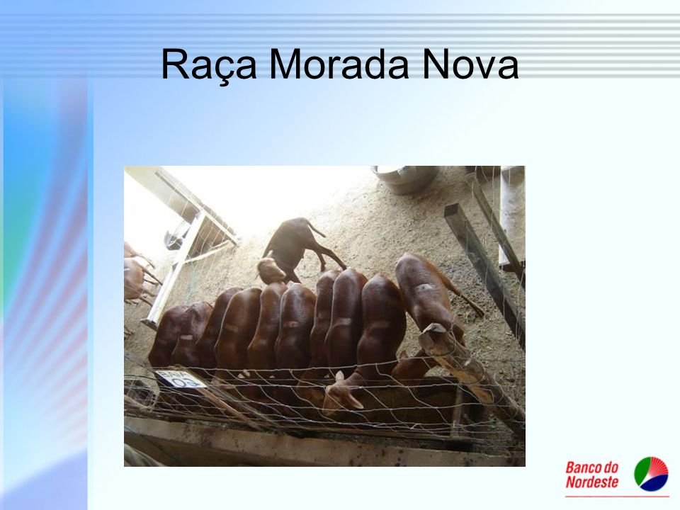 Raça Morada Nova