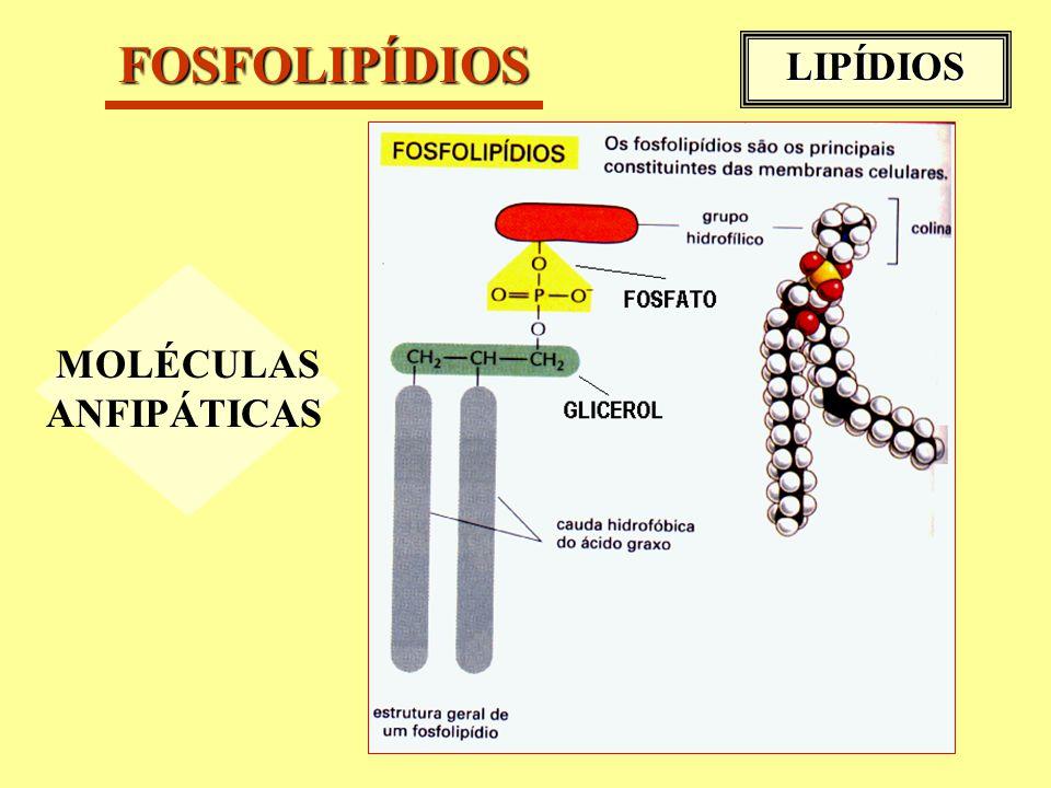 FOSFOLIPÍDIOS LIPÍDIOS MOLÉCULAS ANFIPÁTICAS