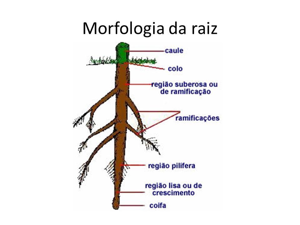 Morfologia da raiz