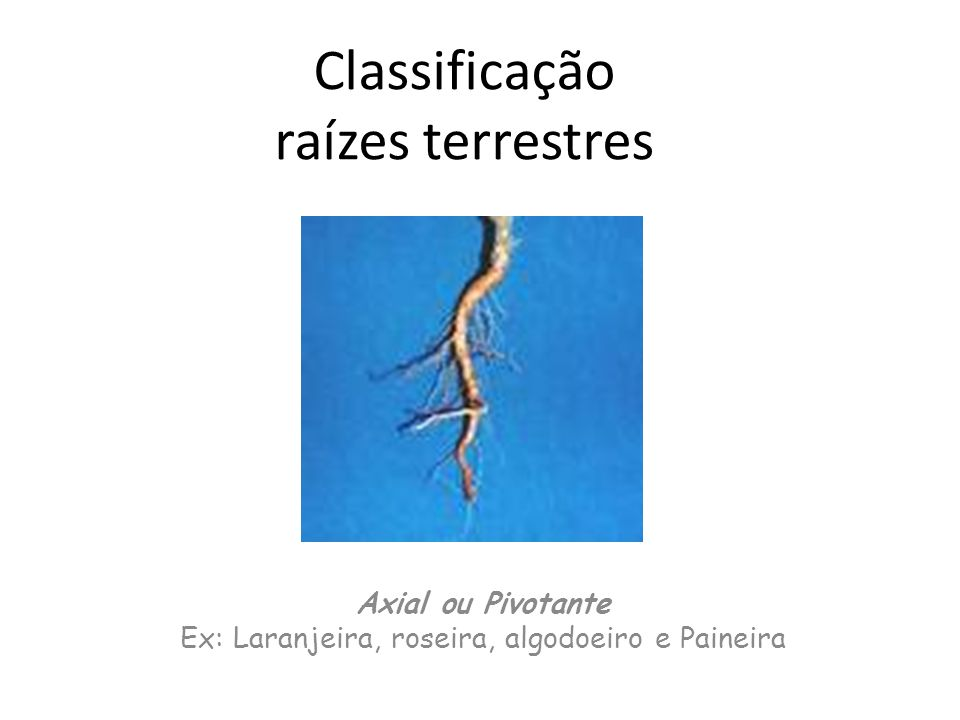 Classificação raízes terrestres
