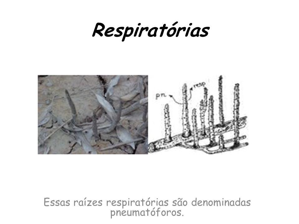 Essas raízes respiratórias são denominadas pneumatóforos.