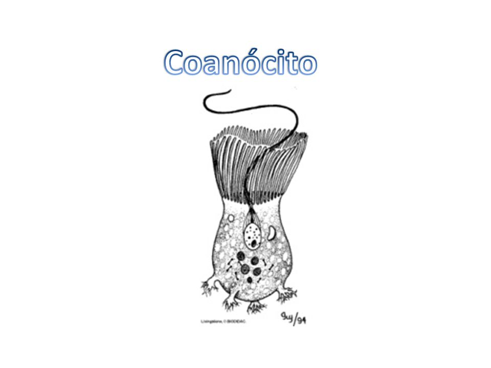 Coanócito