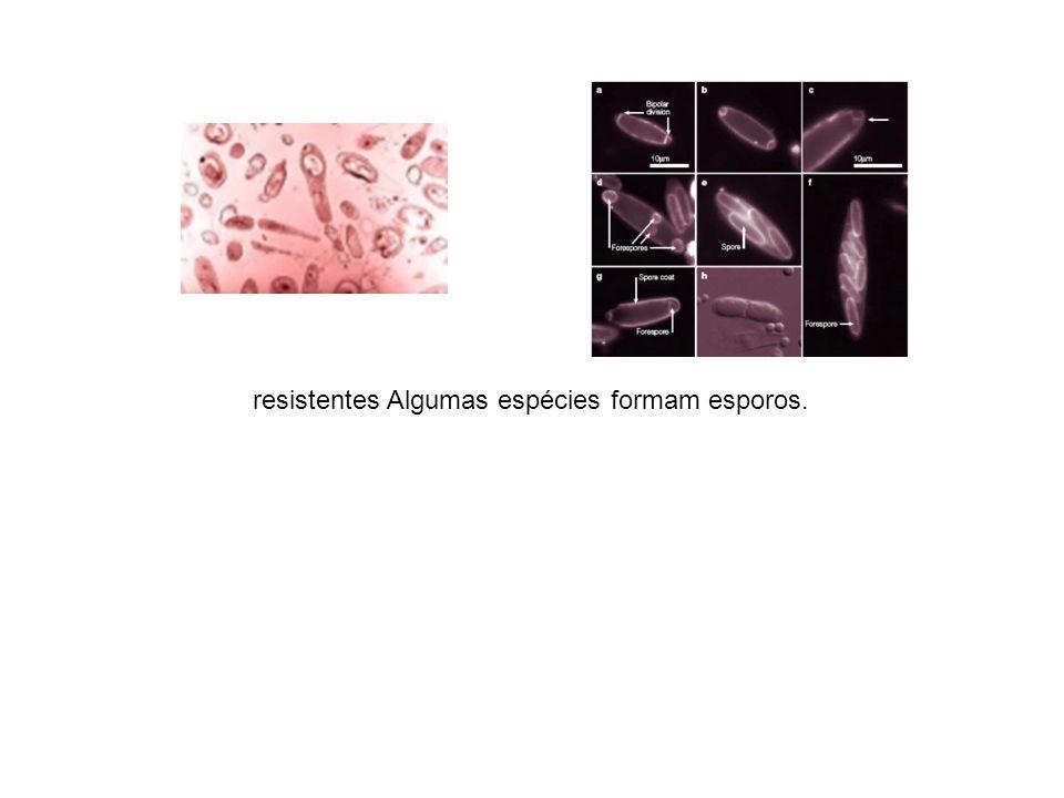 resistentes Algumas espécies formam esporos.