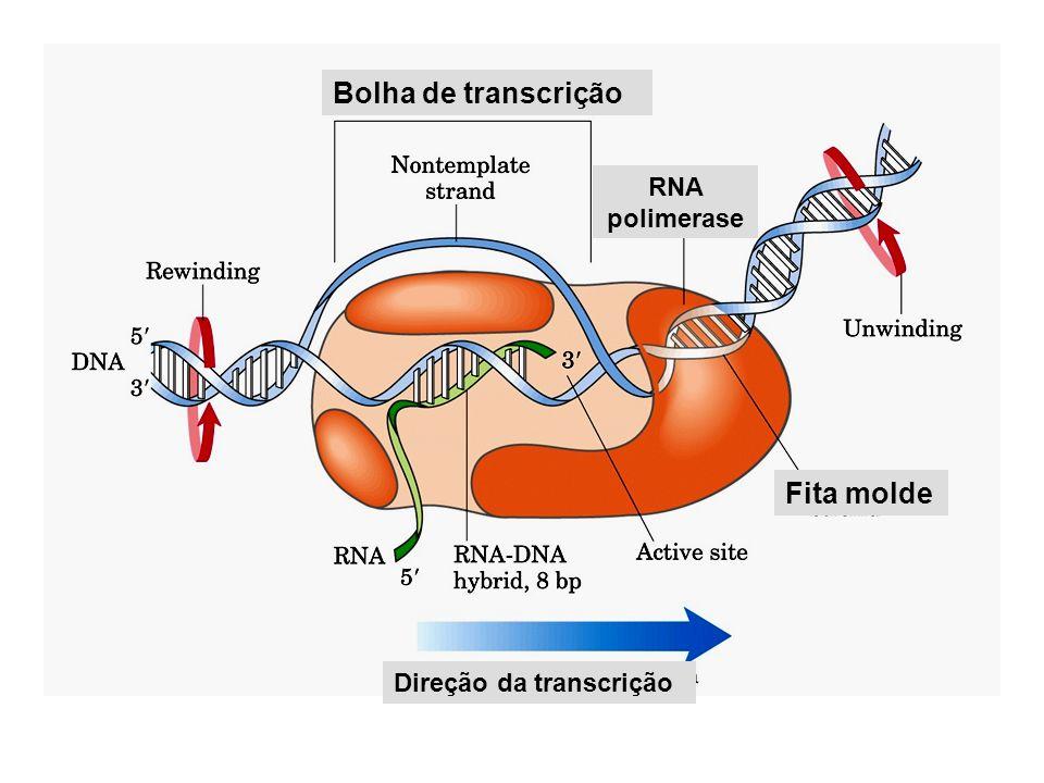 Bolha de transcrição RNA polimerase Fita molde Direção da transcrição