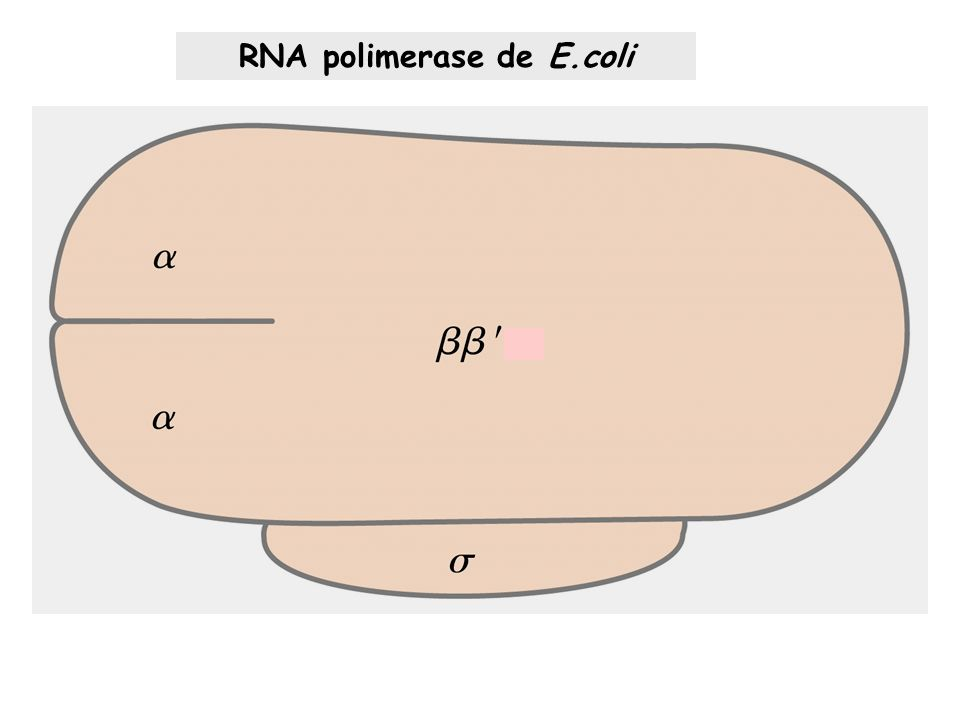 RNA polimerase de E.coli