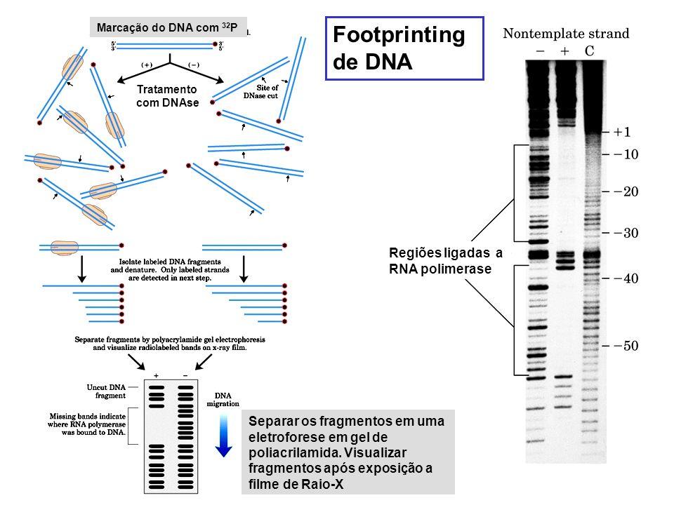 Footprinting de DNA Regiões ligadas a RNA polimerase