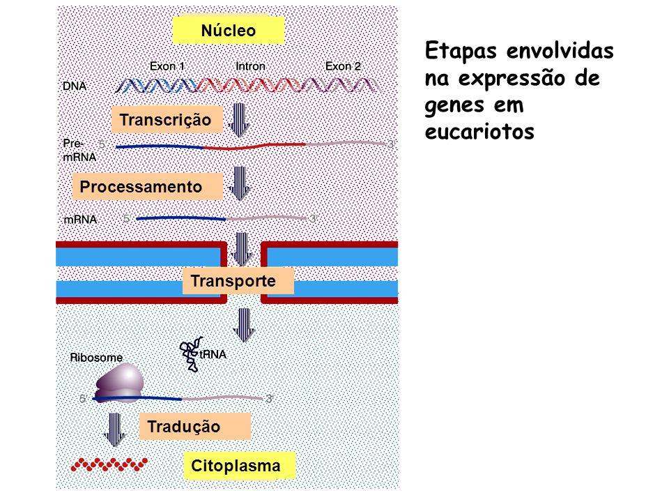 Etapas envolvidas na expressão de genes em eucariotos