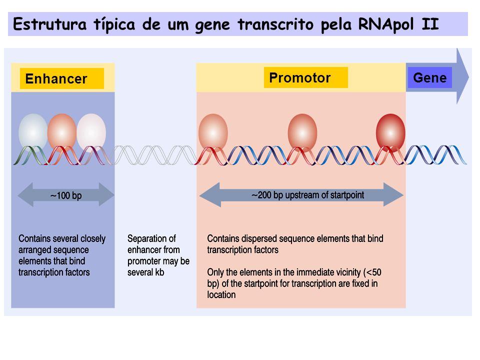 Estrutura típica de um gene transcrito pela RNApol II