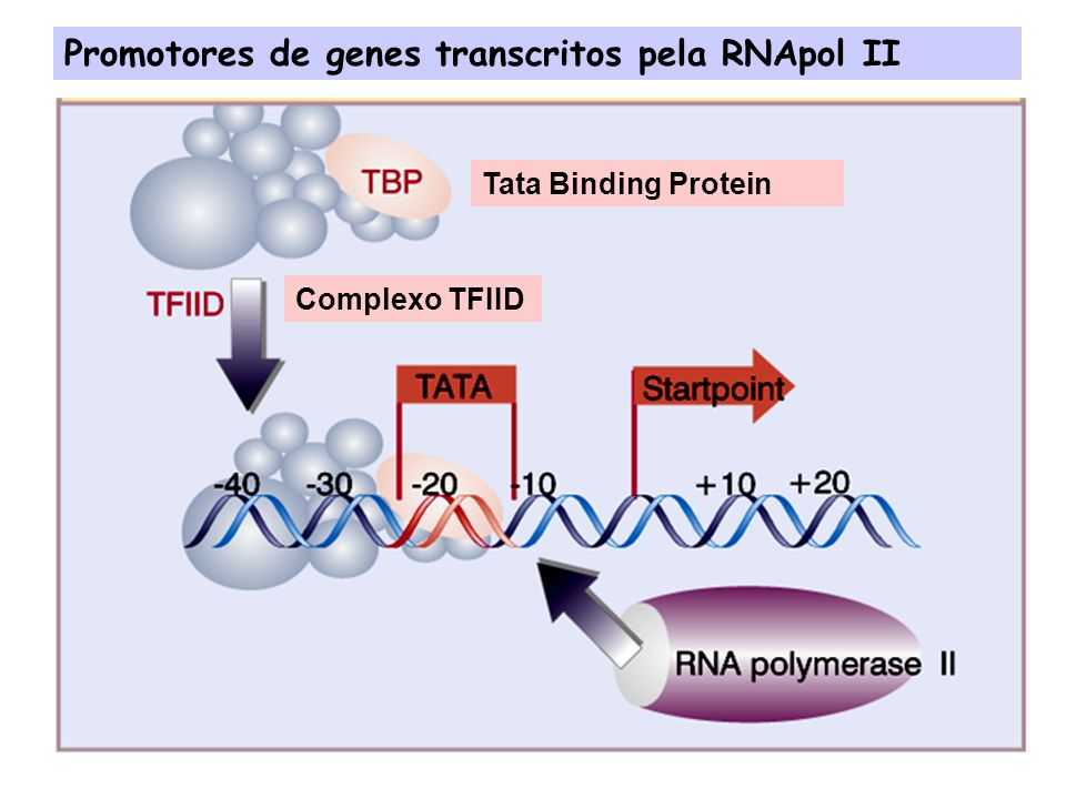 Promotores de genes transcritos pela RNApol II