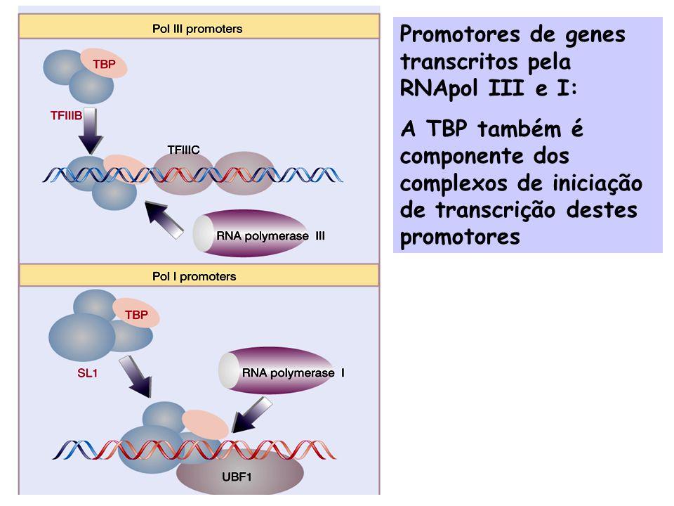 Promotores de genes transcritos pela RNApol III e I: