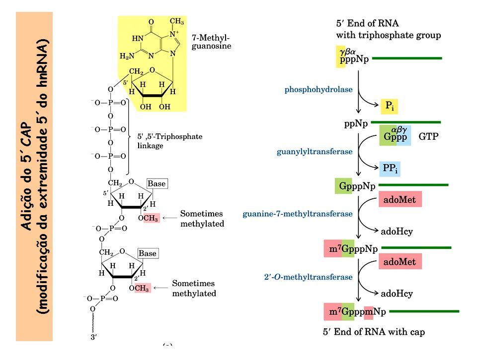 (modificação da extremidade 5´do hnRNA)