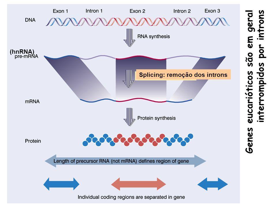 Genes eucarióticos são em geral interrompidos por introns