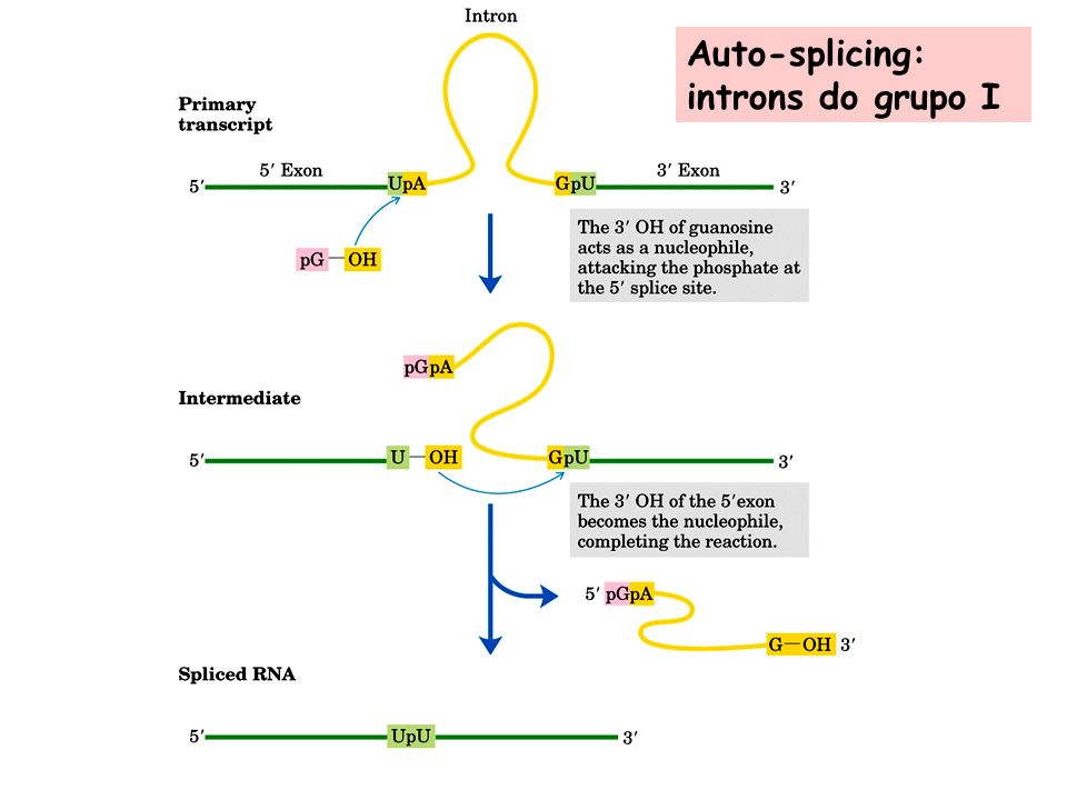 Auto-splicing: introns do grupo I