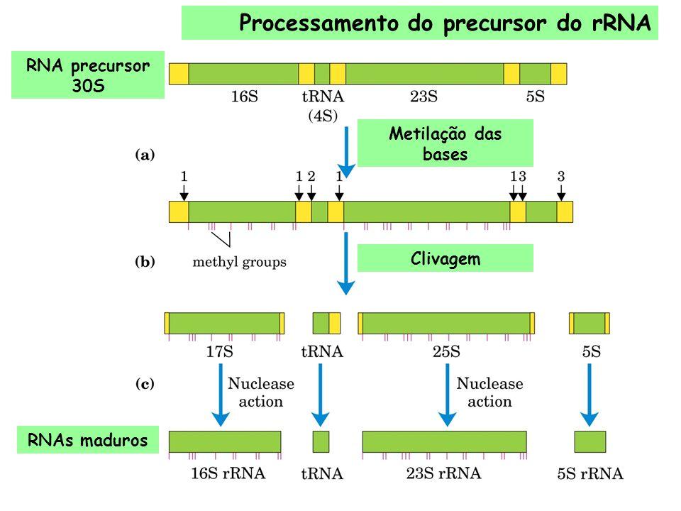 Processamento do precursor do rRNA