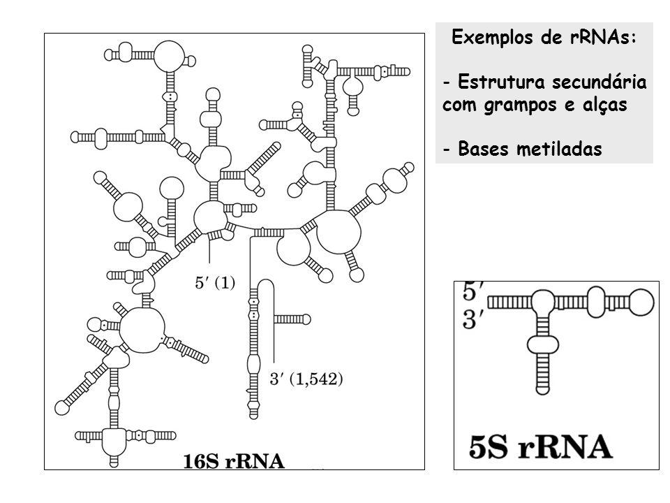 Exemplos de rRNAs: Estrutura secundária com grampos e alças Bases metiladas