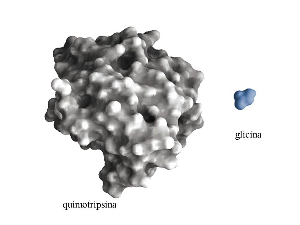 glicina quimotripsina