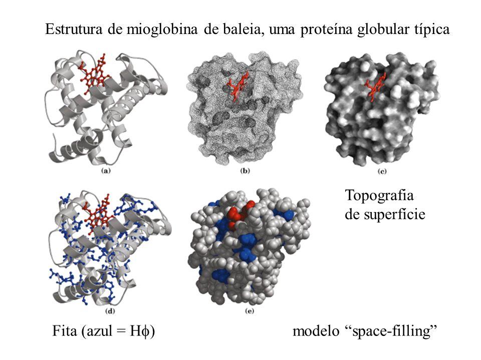 Estrutura de mioglobina de baleia, uma proteína globular típica