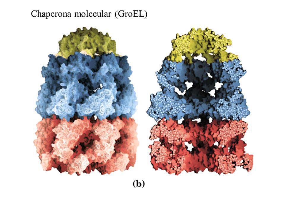Chaperona molecular (GroEL)